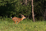 White-tailed fawn running