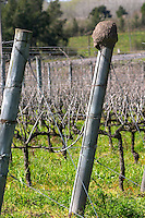 Vines in the vineyard before pruning and an oven shaped clay mud bird's nest of Rufous hornero Furnarius Rufus ovenbird on one of the wooden poles. Bodega Pisano Winery, Progreso, Uruguay, South America