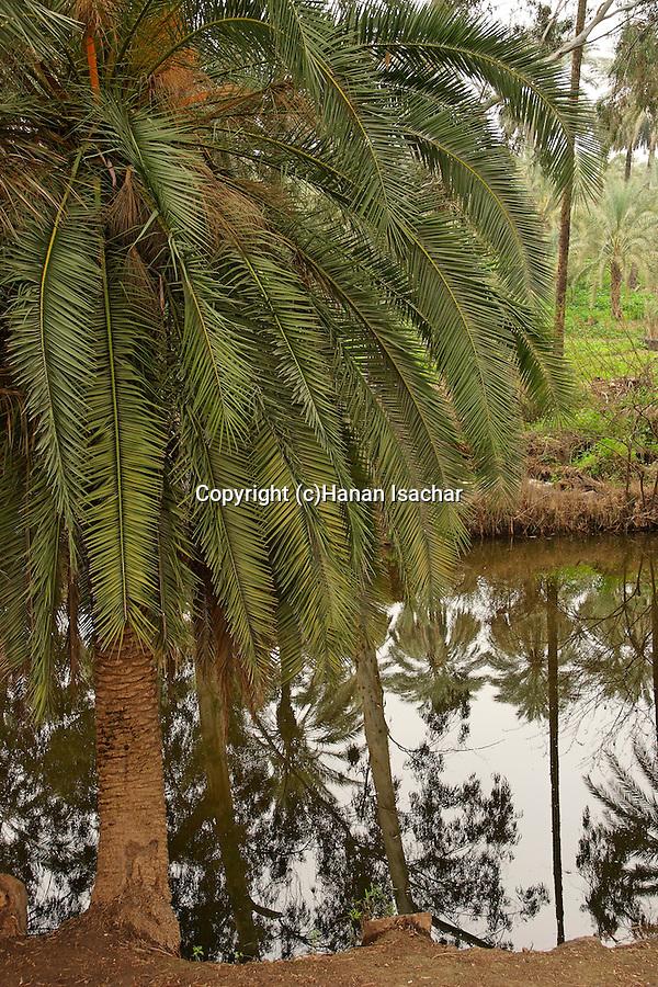 Israel, Jordan Valley, Palm tree by the Jordan River