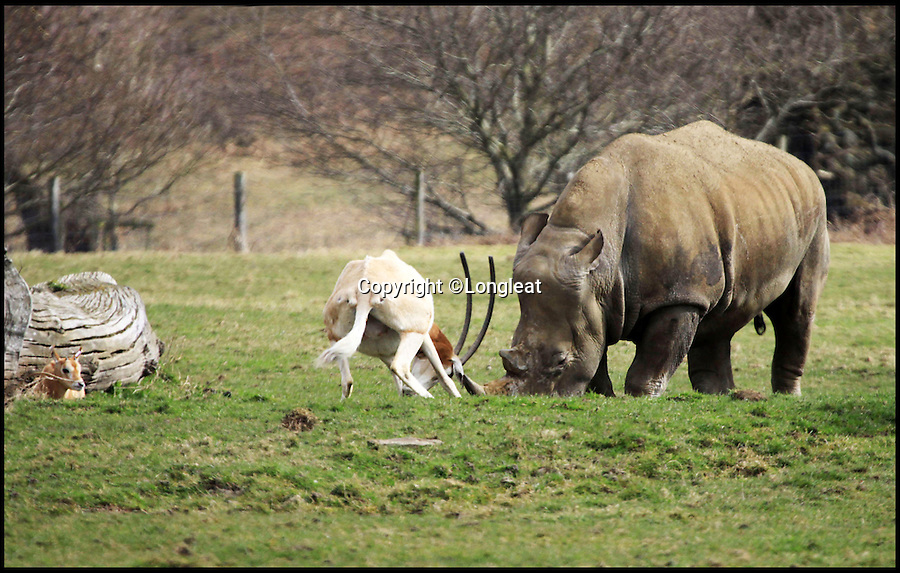 BNPS.co.uk (01202 558833)<br /> Pic: Longleat/BNPS<br /> <br /> *Please use full byline*<br /> <br /> Little and Large show...<br /> <br /> The bemused Rhino has to retreat...<br /> <br /> This plucky mother antelope ignores the golden rule of 'pick on someone your own size' and squares up to a whopping rhinoceros in a bizarre stand-off.<br /> <br /> The brave mum refused to back down when the three-tonne beast came a little too close to her newborn calf - and at one point even clashed horns with it.<br /> <br /> The protective mother antelope, called Ramina, kept her days-old baby Phoenix behind her at all times as she valiantly charged at the massive rhino, called Njanu, despite it being 15 times heavier.<br /> <br /> The unlikely scene was caught on camera by staff at Longleat Safari Park in Wilts.