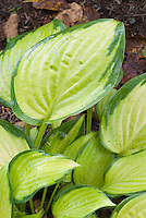 Gold leaves of Hosta Paul's Glory with green edging