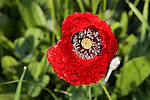 Red Poppies - Hierapolis