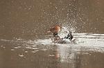 hooded merganser female bathing