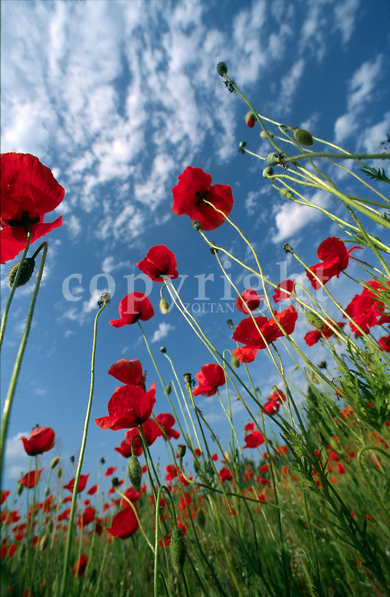 Low angle view of red poppies with blue sky and white clouds