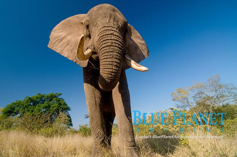Elephant (Loxodonta africana), South Africa, Africa
