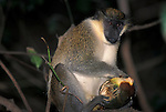 Vervet Monkey, Cercopithecus aethiops, in  tree, feeding on fruit, West Africa