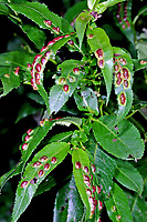 Weidengallenblattwespe, Weidengallen-Blattwespe, Bruchweiden-Erbsengallenblattwespe, Erbsengallen-Blattwespe, Weidenblattwespe, Weiden-Blattwespe, Blattwespe an Galle auf dem Blatt einer Weide, Salix erzeugt, Pontania proxima, willow bean-gall sawfly
