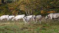 BNPS.co.uk (01202 558833)<br /> Pic: PhilYeomans/BNPS<br />  <br /> A herd of British white cattle is being returned to help manage ancient woodland on the Blenheim Estate.<br /> <br /> Some 45 cattle, including 21 cows, 23 calves and Sebastian the bull, have been released into High Park, a wooded area of the Oxfordshire estate that was originally created by King Henry I as a deer park in the 12th century. <br /> <br /> It is the first time the woods have been grazed by livestock for more than a century and it is hoped their re-introduction will encourage new tree growth.