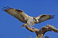 Osprey landing on branch with prey, Pandion hahliaetus, Fort Meyers, Florida