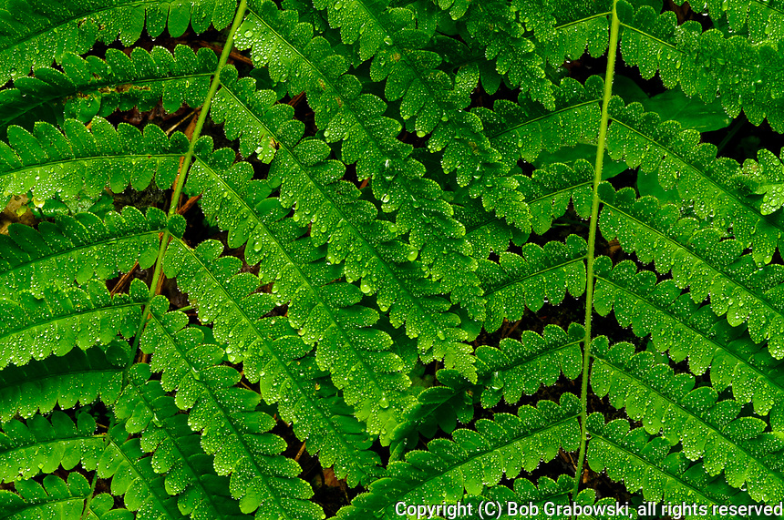Raindrops and Braken Ferns, Pteridium aquilinum, in the Wilcox Lake Wild Forest Area in the Adirondack Mountains of New York State