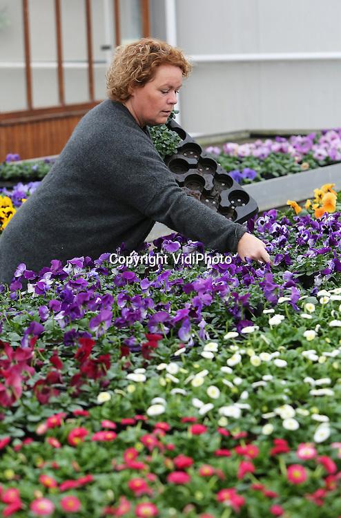 Foto: VidiPhoto<br /> <br /> VALBURG - Eigenaresse Bo Willemsen van de gelijknamige bloemisterij en tuincentrum in het Betuwse Valburg raapt woensdag de zoveelste bestelling perkplanten. Nu het voorjaar doorzet en het voorjaarsgevoel tussen de oren van consumenten volop aanwezig is, duikt iedereen massaal de tuin in. Met als gevolg dat de vraag naar tuin- en perkplanten fors stijgt. Tuincentra en bloemisterijen, zoals Willemsen, doen op dit moment goede zaken. Soms is de vraag zelfs groter dan het aanbod.