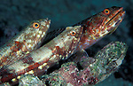 A trio of benthic Gracile Lizardfish (Saurida gracilis) perched on a rock, South Ari Atoll, Maldives