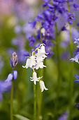 Kingston upon Thames, Surrey. Bluebells and white bluebells - Scilla non-scripta.