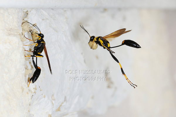 Black and yellow Mud Dauber (Sceliphron caementarium), female in flight bringing mud to nest inside wall, Comal County, Hill Country, Central Texas, USA