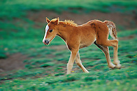 Young wild horse colt runs across mountain meadow.  Western U.S., summer..(Equus caballus)