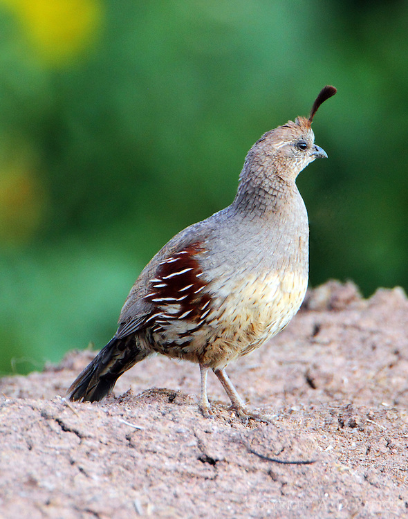 Adult female Gambel's quail, the female of the pair with ten babies, she led the parade.