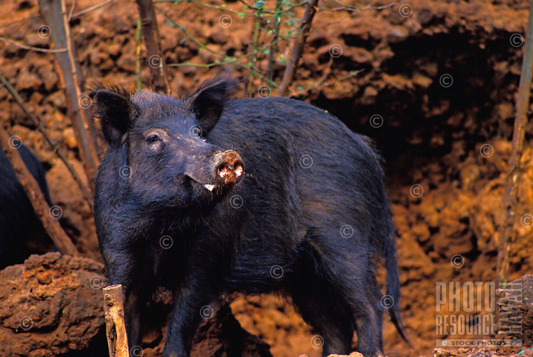 Wild black pig known to create havoc in the Hawaiian rainforest