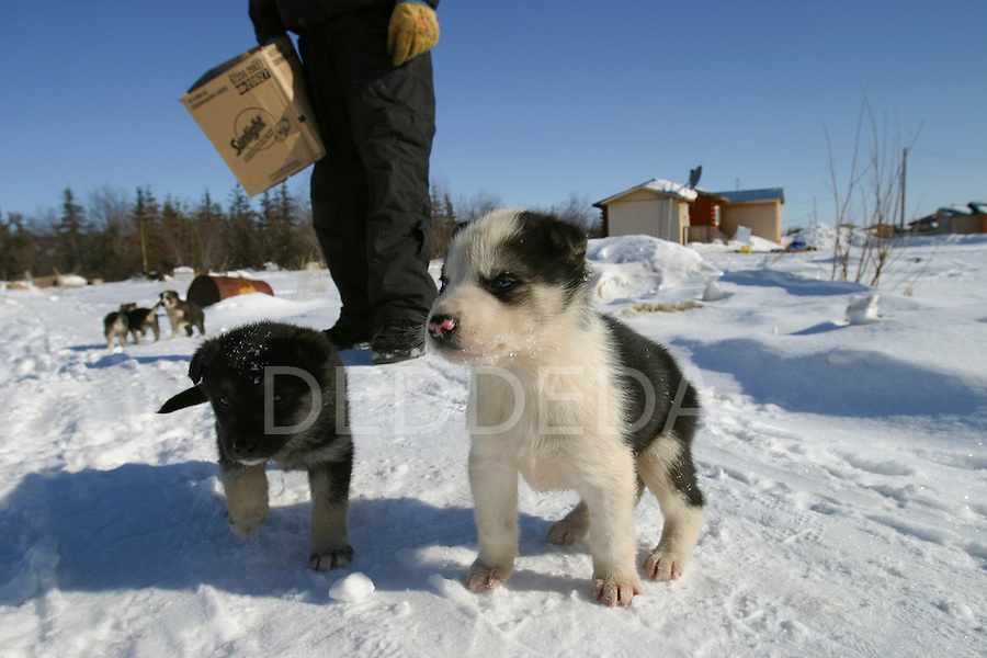 Vuntut Gwitchin sled dog puppies in the snow in Old Crow, Yukon Territory, Canada.