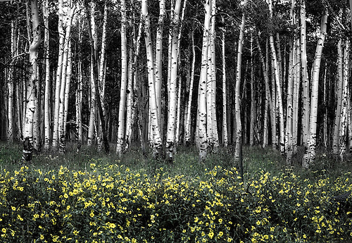 Sunflowers suround a stand of aspen trees in Dixie National Forest, Utah