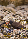 Black Oystercatcher foraging for food along Alaska's Tutka Bay