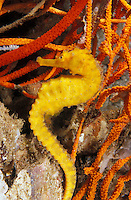 lv420. Common (aka Yellow) Seahorse (Hippocampus kuda). Thailand, tropical Indo-Pacific Oceans..Photo Copyright © Brandon Cole. All rights reserved worldwide.  www.brandoncole.com..This photo is NOT free. It is NOT in the public domain. This photo is a Copyrighted Work, registered with the US Copyright Office. .Rights to reproduction of photograph granted only upon payment in full of agreed upon licensing fee. Any use of this photo prior to such payment is an infringement of copyright and punishable by fines up to  $150,000 USD...Brandon Cole.MARINE PHOTOGRAPHY.http://www.brandoncole.com.email: brandoncole@msn.com.4917 N. Boeing Rd..Spokane Valley, WA  99206  USA.tel: 509-535-3489