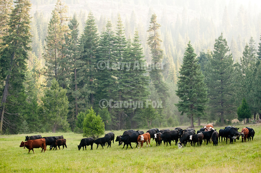Cuneo Cow Camp at 6000 in a meadow in the Sierra Nevada..dogs chase the cows in the meadow