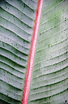 Closeup of raindrops on a banana leaf with prominent red spine in Lavender Bay, Sydney, NSW, Australia