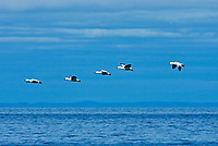Snow goose (Anser caerulescens) in the Saint-Lawrence River<br />