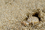 Ant Lion larva in sand pit (Synclisis baetica), Tuscany, Italy