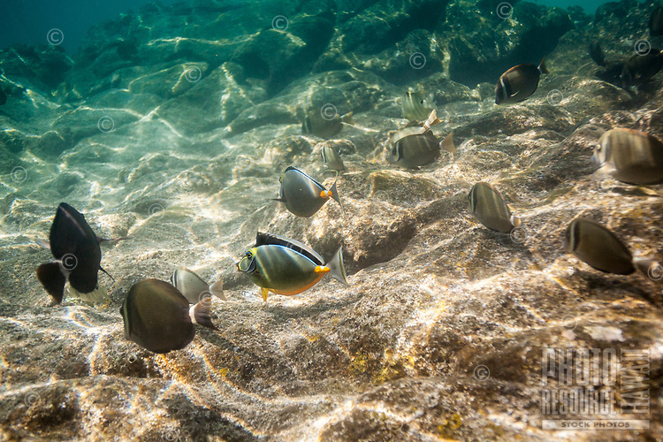 Whitebar surgeonfish and orangespine unicornfish feed on algae at Shark's Cove, O'ahu.
