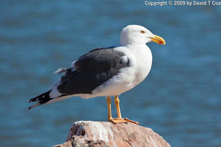 Yellow-Footed Gull, Muleje, Baja Sur, Mexico