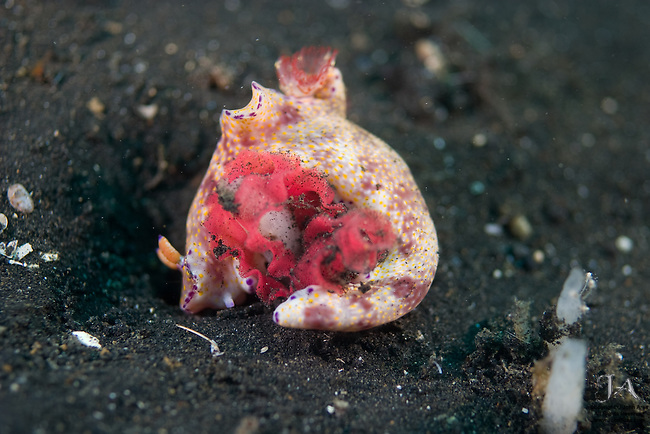 Nudibranch creating egg ribbon in Lembeh Strait, Sulawesi, Indonesia.