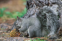 MI210  Western Gray Squirrel (Sciurus griseus) harvesting pine cone.  California.  March.
