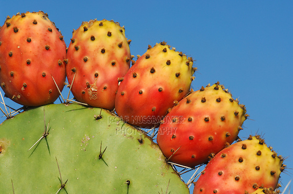 Prickly Pear Cactus (Opuntia sp.), tuna fruit, Sardinia, Italy