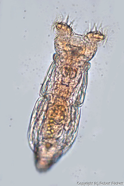 Collotheca rotifer, feeding on bacteria with extended cilla, free swimming, microscope, freshwater, latin rotifer means wheel-bearer, white background, outline, transparent, White Light Illumination, pond