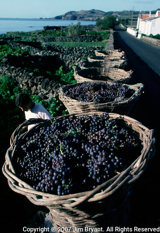 The first step in centuries-old wine-making, grapes harvested in the fall, await to be transported from vineyard to winery.  (Jim Bryant Photo)......