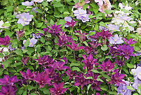 Clematis 'Fleuri' (red), 'Cezanne' (blue purple), 'Empress'' (pink)