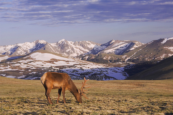 Elk, Wapiti, Cervus elaphus,bull in velvet grazing on alpine tundra,Rocky Mountain National Park, Colorado, USA, June 2007