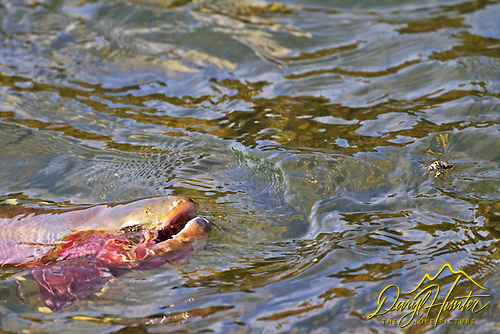 Cutthroat  trout rising for a Caddis Fly