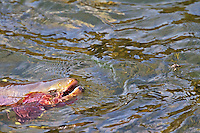Native Yellowstone cutthroat trout rising to eat stonefly in the Yellowstone River in Yellowstone National Park