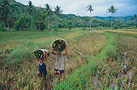 Philippines. Negros Island. Province of Negros Occidental, located in the  Western Visayas region. Barangay (village) Camao. Two children, young boys, carry on their heads harvested organic rice in the fields. Child labor. Terrace cultivation. Rice growing. Sustainable agriculture.  © 1999 Didier Ruef