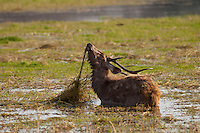 Indian Sambar, Rusa unicolor, male deer feeding in Rajbagh Lake in Ranthambhore National Park, Rajasthan, India