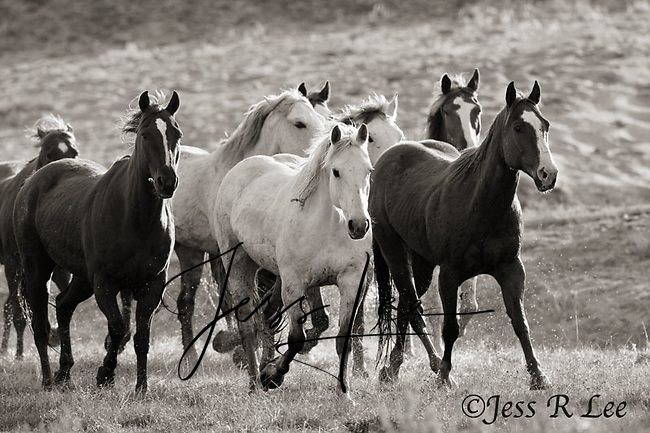 A black and white photo of ranch horses being herded through water. Cowboys and cowgirls living the western lifestyle.