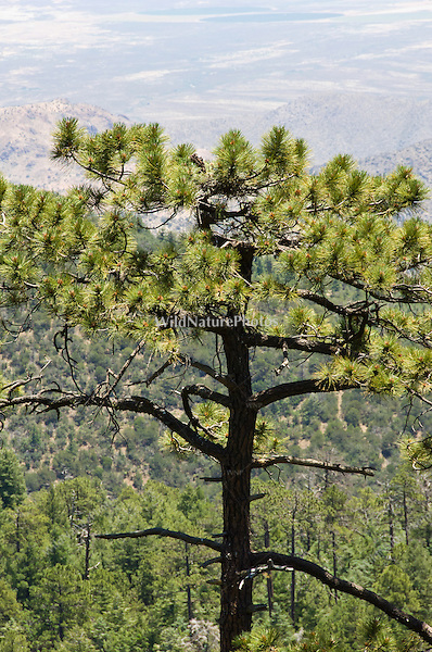 Short-tailed Hawk  (Buteo brachyurus) nest in Arizona Pine (Pinus arizonica); Arizona, (Nesting Record)
