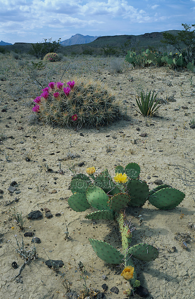 Strawberry Hedgehog Cactus (Echinocereus enneacanthus) and Prickly Pear Cactus,blooming, Big Bend National Park, Texas, USA