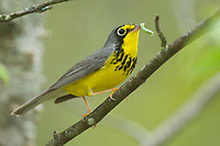 Adult male Canada Warbler (Wilsonia canadensis) in breeding plumage with a caterpillar. Tompkins County, New York. May.