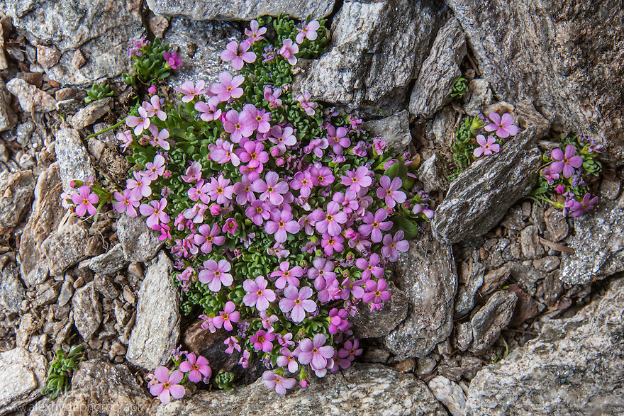 Alpine Rock-Jasmine {Androsace alpina} growing amongst scree at 2800 metres altitude. Gran Paradiso National Park, Aosta Valley, Pennine Alps, Italy. July.