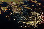 Sargassumfish, Histrio histrio, Dominica