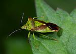 Hawthorn Shieldbug, Acanthosoma haemorrhoidale, Bonsai Bank, Denge Woods, Kent UK