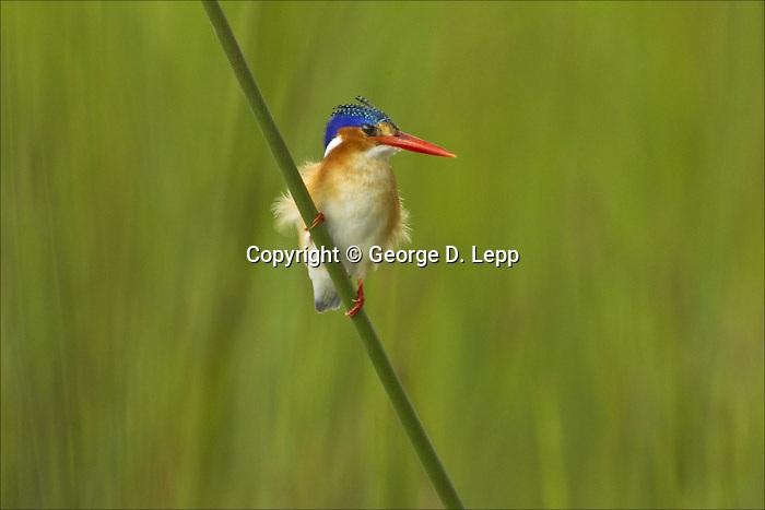 Malachite Kingfisher, Botswana, Africa, Little Vumbra,.Cor